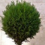 Cuidado de los arbustos de enebro: consejos para el crecimiento de enebro
