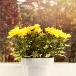 Plantas de interior del crisantemo: cómo cultivar mamás en el interior