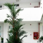 Cuidando las palmas: cómo cultivar palmeras en el interior