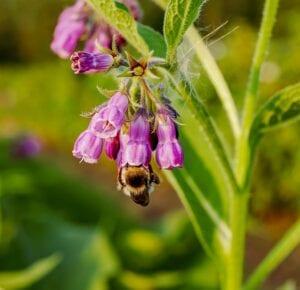 Planta de hierbas Comfrey - Conozca los diferentes usos de Comfrey en los jardines