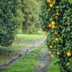 Plantación De Árboles Frutales