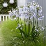 Plantas compañeras de Agapanthus: conozca las plantas que crecen bien con Agapanthus