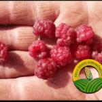 Problemas de zarza: lo que causa la fruta de frambuesa desmenuzable