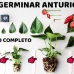 Propagación de semillas de anturio: consejos para propagar anturios desde la semilla