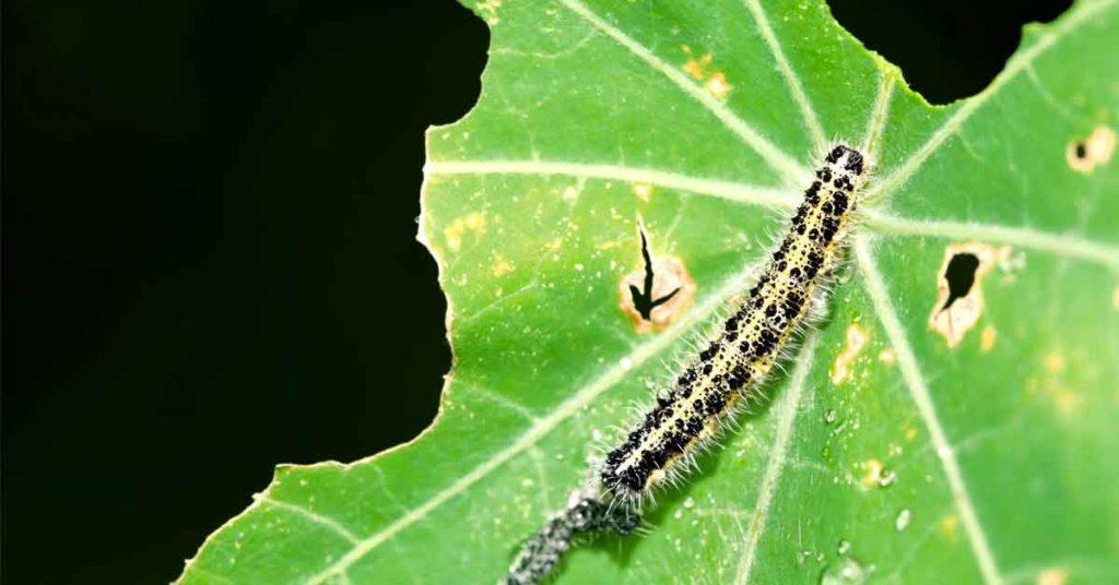 Proteja su jardín de los gusanos de col