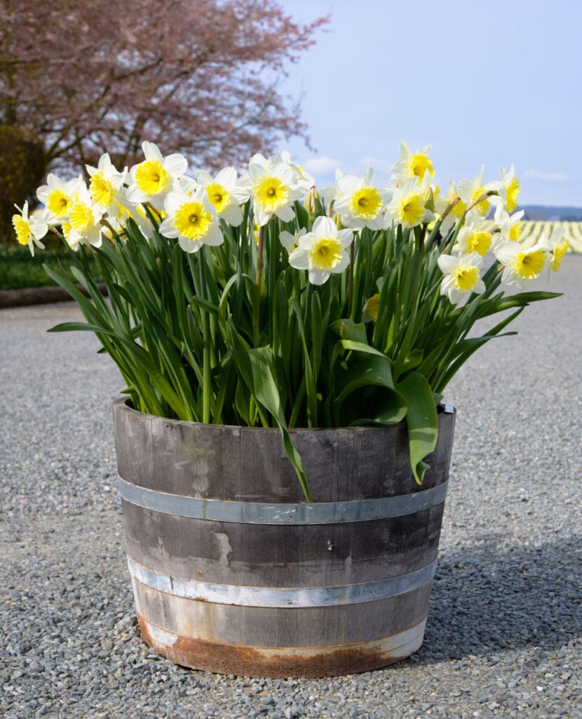 Período de enfriamiento para bulbos: consejos para enfriar las bulbos de flores