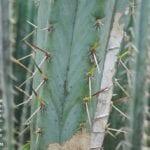 Cuidado de los cactus quemados por el sol: información sobre las quemaduras solares de los cactus
