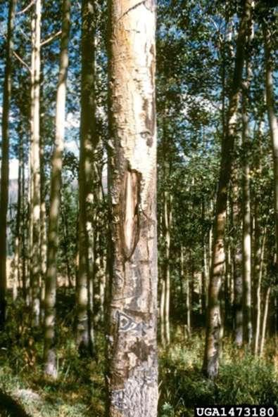 Tratamiento de cancro de cenagio: conozca el cancro de árboles de cenagium