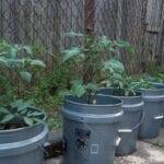 Hortalizas para plantar contenedores con cubos: uso de cubos para cultivar verduras
