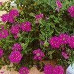 Vs. Verbena perenne: ¿cuánto dura Verbena en el jardín?