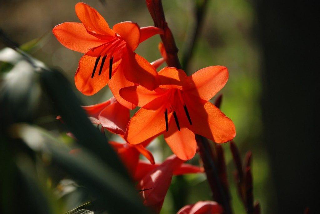 Cuidado de los bulbos de Watsonia: cómo cultivar la planta de jardín de Watsonia