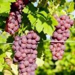 Uvas resistentes al frío: elección de granos para paisajes de la zona 5