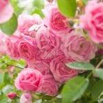 Elegir rosas para los jardines de la zona 8